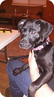Labrador Retriever Dog for adoption in Odessa, Texas - Tesha