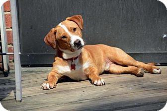Beagle/Basset Hound Mix Dog for adoption in Potomac, Maryland - Payton - Adoption Pending