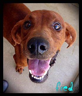 Redbone Coonhound Dog for adoption in Hartford City, Indiana - Fred
