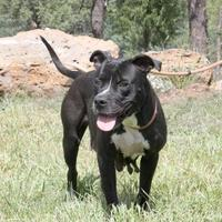 American Pit Bull Terrier Mix Dog for adoption in Lakeside, Arizona - Bess