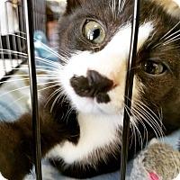 Adopt A Pet :: Savannah - LaGrange Park, IL