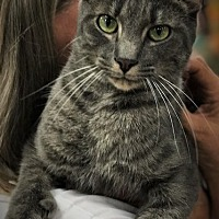 Adopt A Pet :: Nickel- Polydactyl - Chattanooga, TN