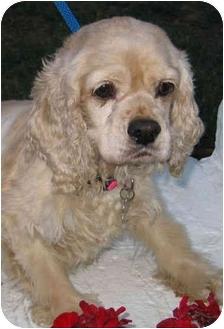 Cocker Spaniel Dog for adoption in Sugarland, Texas - Rosemary