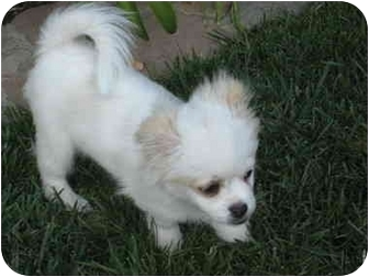 Tibetan Spaniel Mix Puppy for adoption in San Diego County, California - Chaplin