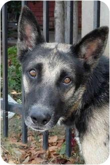 German Shepherd Dog Mix Dog for adoption in Los Angeles, California - Kota von Kastl