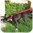 Photo 3 - Australian Cattle Dog Mix Dog for adoption in Berkeley, California - Tate