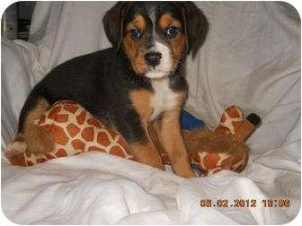 Labrador Retriever/Hound (Unknown Type) Mix Puppy for adoption in Williston, Vermont - Jessa