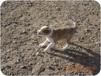 Jack Russell Terrier/Pit Bull Terrier Mix Puppy for adoption in Thatcher, Arizona - Jack