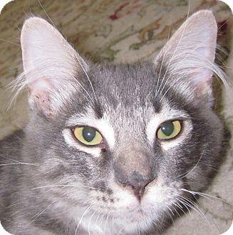 Domestic Longhair Kitten for adoption in Winchester, California - Tupert