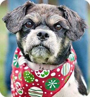 Lhasa Apso Mix Dog for adoption in Portsmouth, Rhode Island - Queenie w/video!