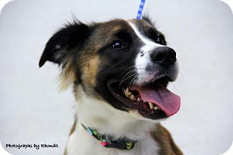 Retriever (Unknown Type)/Shepherd (Unknown Type) Mix Dog for adoption in Jersey City, New Jersey - Lyla