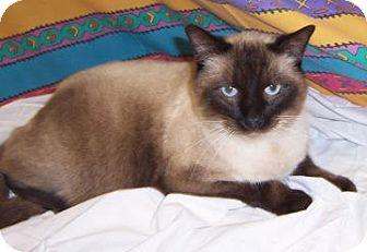 Siamese Cat for adoption in Larned, Kansas - Big Boy