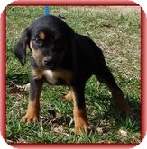 Beagle Mix Puppy for adoption in Hagerstown, Maryland - Bailey