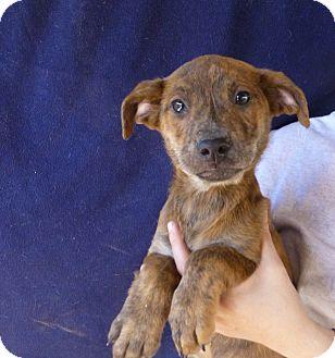Golden Retriever/Australian Shepherd Mix Puppy for adoption in Oviedo, Florida - Yukon