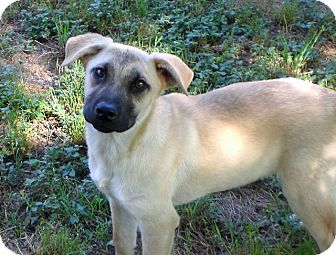 Shepherd (Unknown Type)/Black Mouth Cur Mix Puppy for adoption in Austin, Texas - Hobbs