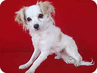 Papillon Mix Dog for adoption in Los Angeles, California - Zeus