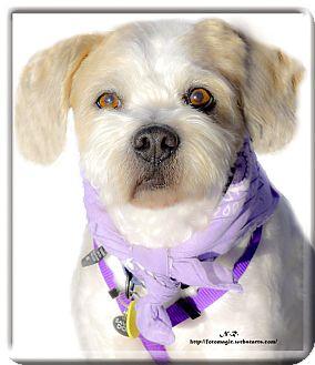 Tibetan Terrier Mix Dog for adoption in Sacramento, California - Kimber easy mellow boy