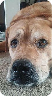 Labrador Retriever Mix Dog for adoption in Palatine, Illinois - Jack