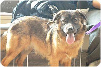 Australian Shepherd/Collie Mix Puppy for adoption in London, Ontario - Juno