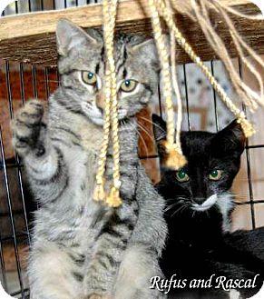 Domestic Shorthair Kitten for adoption in Alamo, California - Rufus