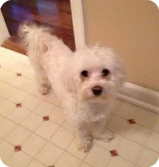 Maltese Mix Dog for adoption in Aiken, South Carolina - Jackson