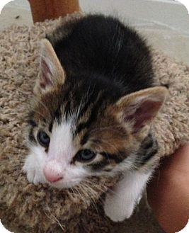 Domestic Shorthair Kitten for adoption in El Dorado Hills, California - KITTEN-LOUIE
