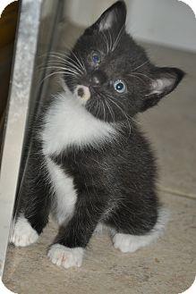 Domestic Shorthair Kitten for adoption in New Smyrna Beach, Florida - DOT