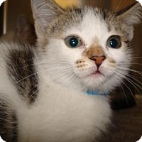 Domestic Shorthair Cat for adoption in Miami, Florida - Gaia