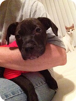 Labrador Retriever/Pit Bull Terrier Mix Puppy for adoption in Tracy, California - Bruno