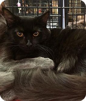 Domestic Mediumhair Cat for adoption in Fremont, California - Laverne