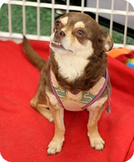 Chihuahua Mix Dog for adoption in Concord, North Carolina - Reeses