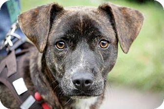Terrier (Unknown Type, Medium)/Labrador Retriever Mix Dog for adoption in Portland, Oregon - Gomez