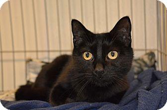 Domestic Mediumhair Cat for adoption in International Falls, Minnesota - Lucky