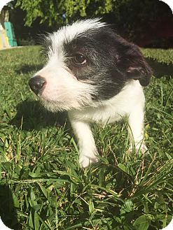 Terrier (Unknown Type, Small) Mix Puppy for adoption in Boca Raton, Florida - Baylee