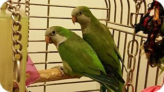 Parakeet - Quaker for adoption in Glens Falls, New York - Charlie and Coco