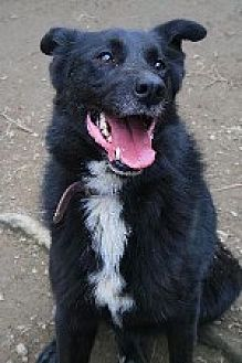 Shepherd (Unknown Type)/Border Collie Mix Dog for adoption in Pt. Richmond, California - ANDY