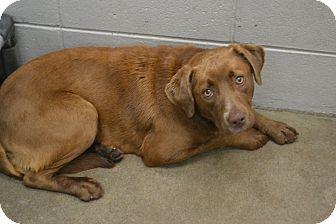 Labrador Retriever Mix Dog for adoption in Beaumont, Texas - London