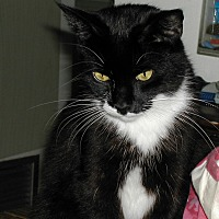Domestic Shorthair Cat for adoption in Naples, Florida - Magnolia