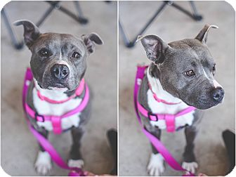 Pit Bull Terrier Mix Dog for adoption in Wichita Falls, Texas - Justice