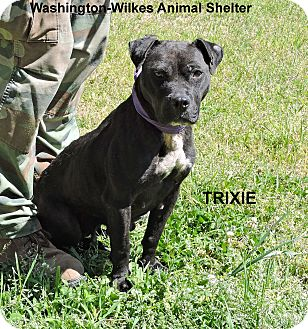 Bulldog/Labrador Retriever Mix Dog for adoption in Washington, Georgia - Trixie