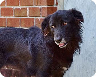 Flat-Coated Retriever/Golden Retriever Mix Dog for adoption in New Canaan, Connecticut - Ashley