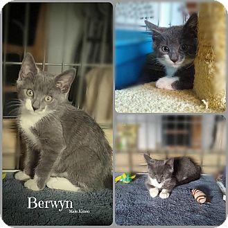 Domestic Shorthair Kitten for adoption in Glen Mills, Pennsylvania - Berwyn