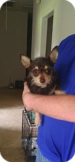 Chihuahua/Dachshund Mix Dog for adoption in Baton Rouge, Louisiana - Rosie