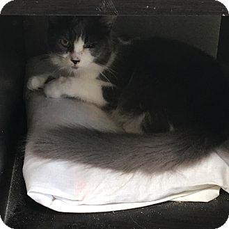 Domestic Shorthair Kitten for adoption in Westminster, California - Kelly