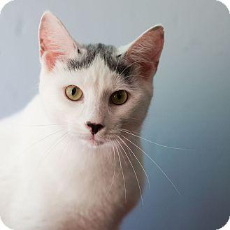 Domestic Mediumhair Cat for adoption in Avon, New York - Lou C
