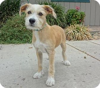 Terrier (Unknown Type, Small) Mix Puppy for adoption in Lathrop, California - Charlie