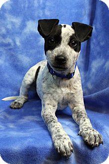 Blue Heeler Mix Puppy for adoption in Westminster, Colorado - FABIAN