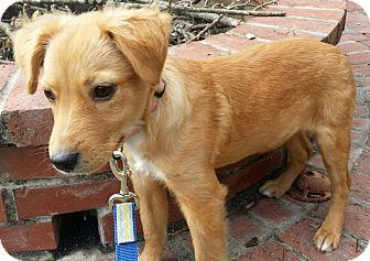 Golden Retriever/Labrador Retriever Mix Puppy for adoption in Allentown, New Jersey - GOLDIE