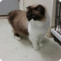 Adopt A Pet :: Socks - Maquoketa, IA