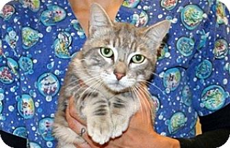 Domestic Shorthair Cat for adoption in Wildomar, California - Orlando
